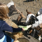 Swank Farms Goat Feeding